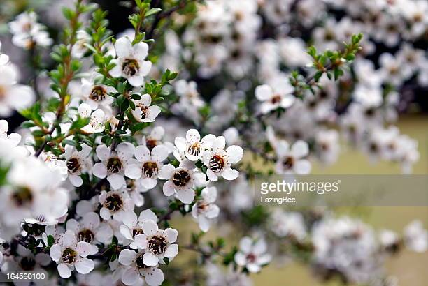 Manuka (Leptospermum scoparium) Tea Tree
