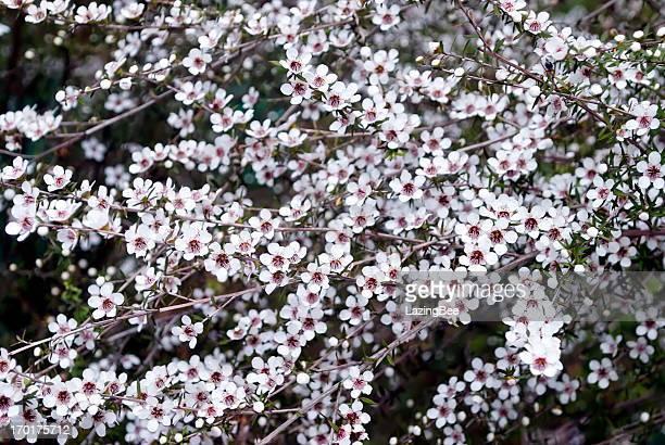 manuka (leptospermum scoparium) tea tree - tea tree oil stock photos and pictures