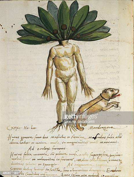 Manuscript 15th century Lucius Apuleius De herbarum Medicaminibus Mandragora herba illustration C 237 folio 70 verso Verona Biblioteca Capitolare