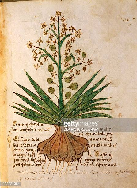 Manuscript, Italy, 15th century. Herbal from Trento. Plate: Centum chapita or asfodello . Herb used to treat fistulas and eye disorders. Manuscript...