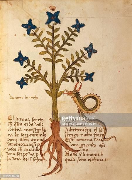 Manuscript, Italy, 15th century. Herbal from Trento. Plate: Ditamo bianco - Burning-bush or False Dittany . Plant used to heal venomous snake bites....