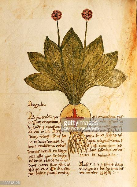 Manuscript, Italy, 15th century. Herbal from Trento. Plate: Herba angules. Herb used to treat wounds and gangrene. Manuscript 1591, folio 25, verso....