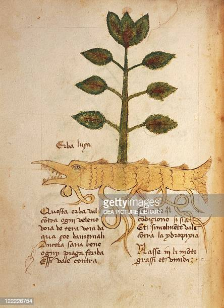 Manuscript Italy 15th century Herbal from Trento Plate Herba luca Herb used for fever and edema treatment Manuscript 1591 folio 23 verso Herbal with...