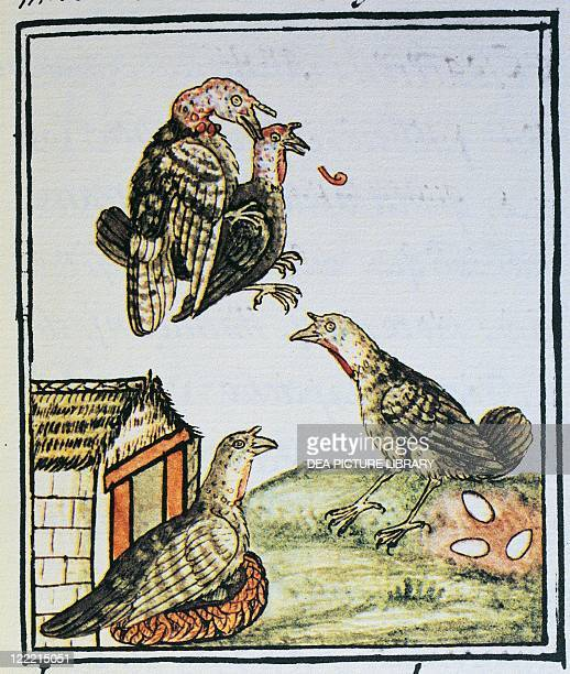 Manuscript Mexico 16th century Turkeys mating and sitting on eggs From The Code of Florence 'Historia general de las cosas de Nueva Espana' by Fra...