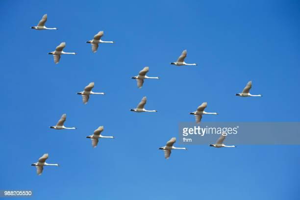 many birds in the sky - vogelschwarm stock-fotos und bilder