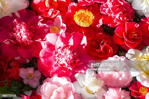 Many blooming white and red blossoms of a Camellia are floating on water