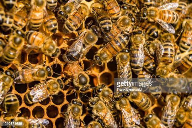 Many Carniolan honey bees crawling on a honeycomb, a queen is laying eggs into a cell.