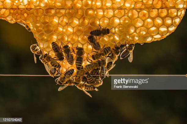 Many Carniolan honey bees crawling on a honeycomb.