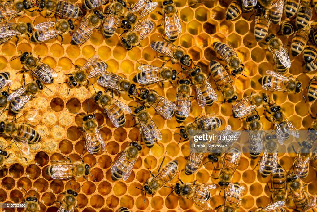 Many Carniolan honey bees (Apis mellifera carnica) crawling... : News Photo