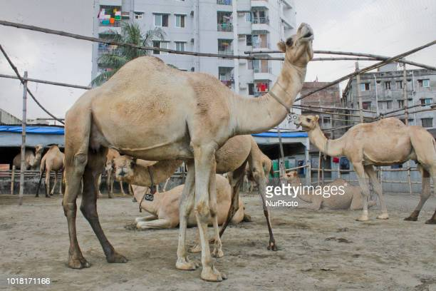 Many cattle fattening farms has been established in Dhaka Bangladesh on 17 August targeting Eidul Adha for eid a Camel and Dumba farm is getting...