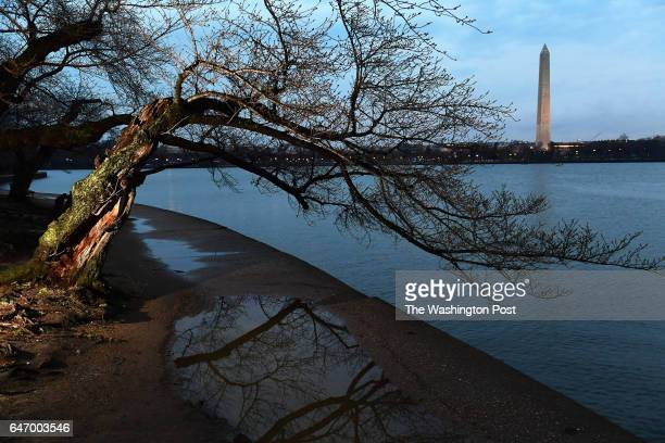 Many cherry trees along the Tidal Basin are not blooming yet on Wednesday March 01 2017 in Washington DC The peak blooming time for the cherry...