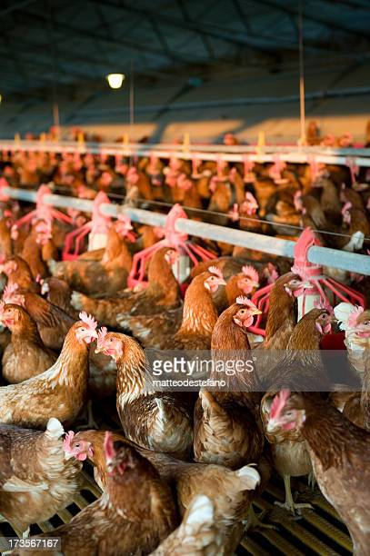 Many chickens in a farm feeding