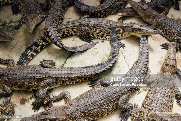 many crocodiles on a concrete surface in a nature reserve in malaysia - nature reserve stockfoto's en -beelden