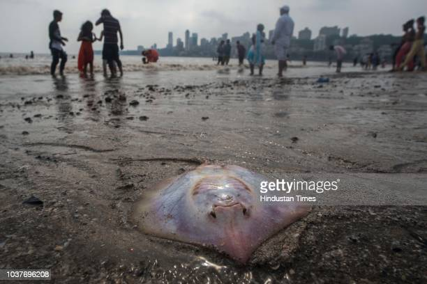 Many dead Stingrays wash ashore at Girgaum Chowpatty on September 21 201 in Mumbai India Ganpati visarjan is just 2 days away so people should stay...