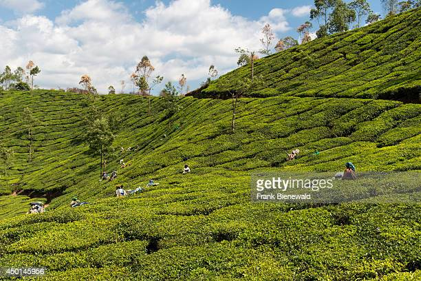 Many female tea pluckers are plucking tea leafs using scissors situated around 1600 m above sea level in the Western Ghats