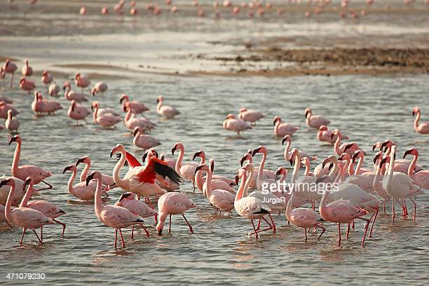 many flamingos at walvis bay in namibia - walvis bay stock photos and pictures
