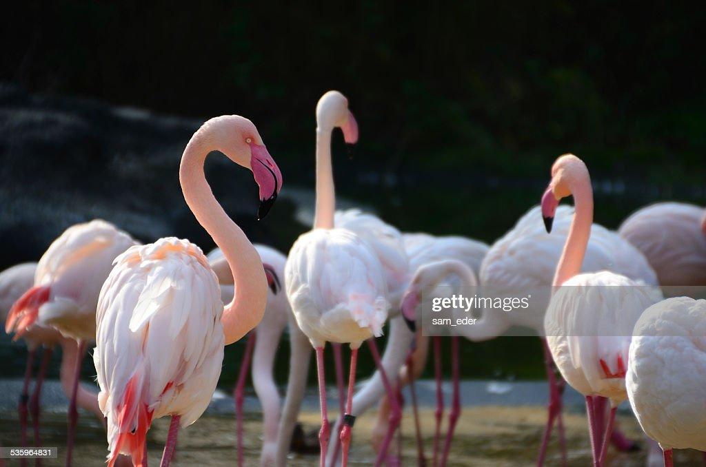 many  flamingos in the zoo : Stock Photo