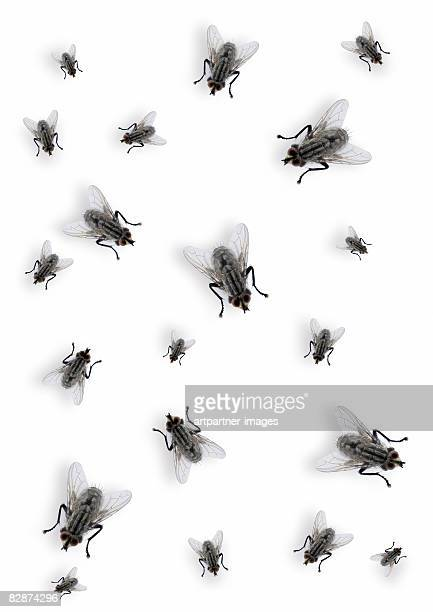 many flies on white background - fly insect stock pictures, royalty-free photos & images