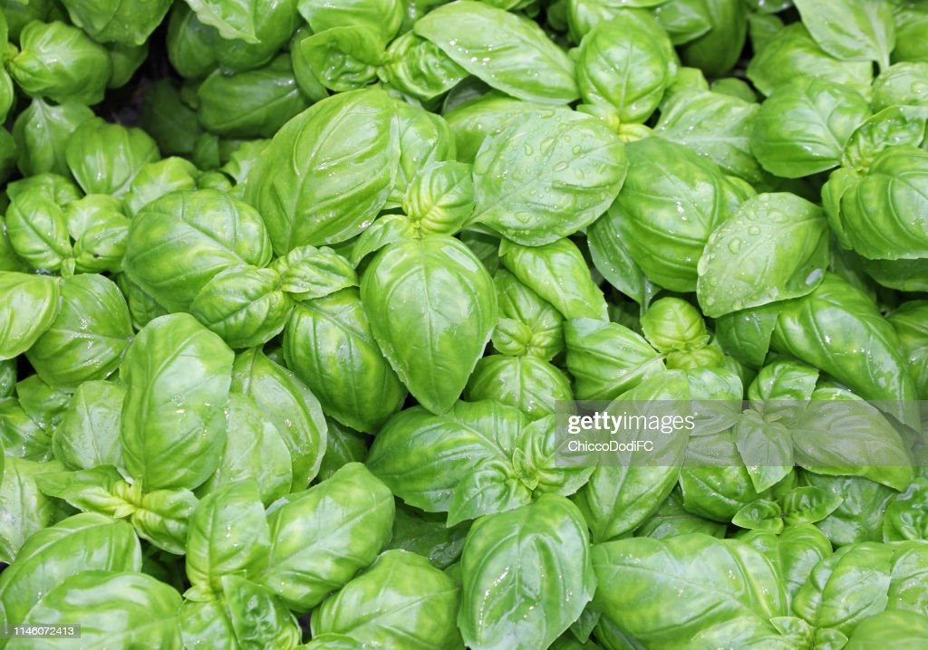many fresh leaves of basil a typical  culinary herbal of Mediter : Stock Photo