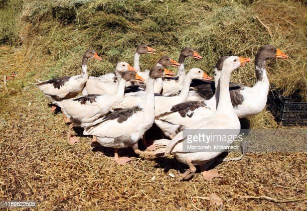 many geese on a meadow - 鳥インフルエンザウィルス ストックフォトと画像