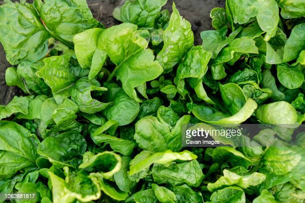 many leaves of organic green salad - spinach stock pictures, royalty-free photos & images