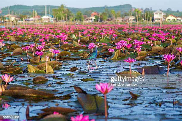 Many lotus at Thale Noi, Phatthalung province