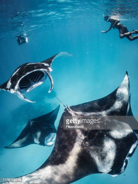 many manta rays swimming together in the ocean - dasiatide foto e immagini stock