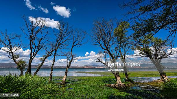 many of the dead trees in the reservoir on a summer day - wiratgasem stock photos and pictures
