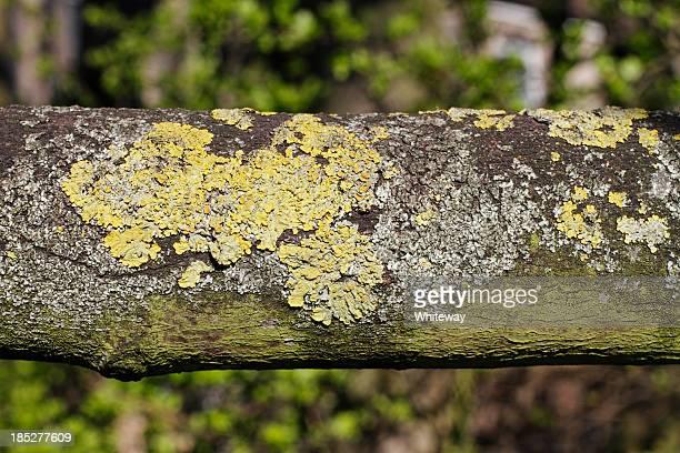 Yellow lichen Xanthoria parietina on branch close up