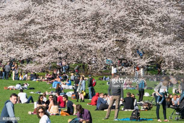 Many people relax in front of full-bloomed Cherry blossoms trees at Sheep Meadow Central Park New York.