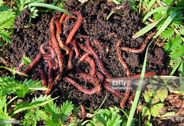 many red worms in dirt - worm stock photos and pictures