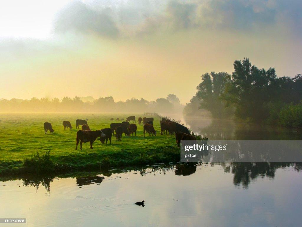 Veel herkauwende koeien in de groene weide. : Stockfoto