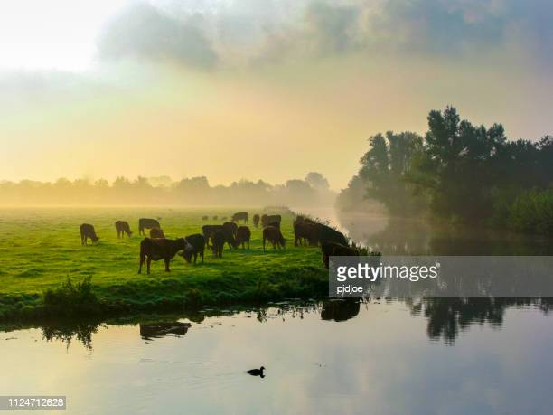 many ruminating cows in green meadow. - non urban scene stock pictures, royalty-free photos & images