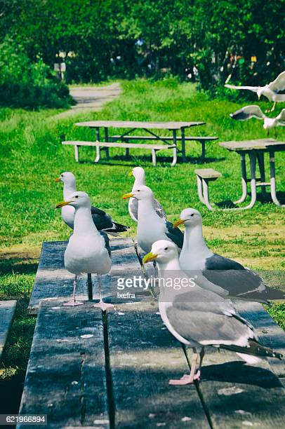 Many sea gulls standing on a picknick table.