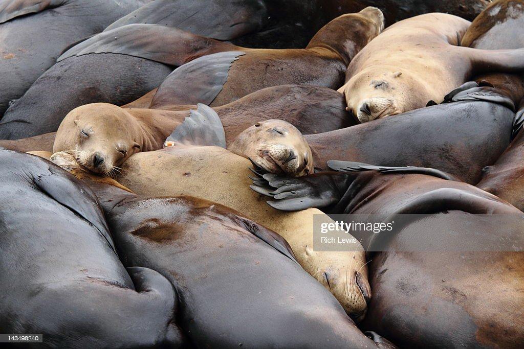 Many sea lions sunbathing : Foto stock