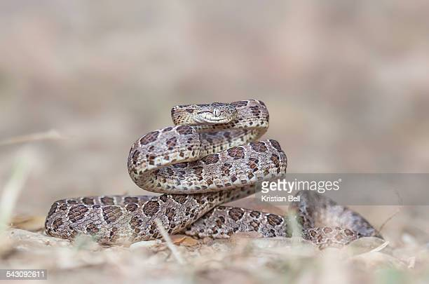 many spotted cat snake (boiga multomaculata) - cat snake stock photos and pictures