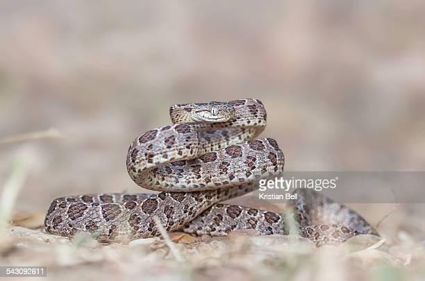 Many spotted cat snake (Boiga multomaculata)