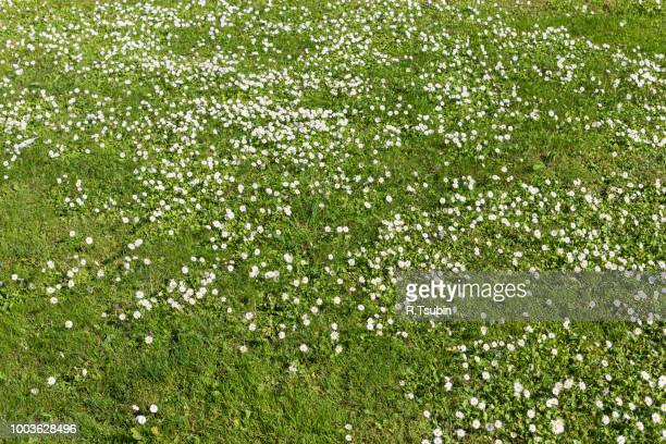 Many white small flowers in top view of green meadow