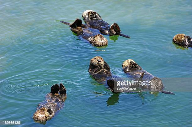 Many Wild Sea Otters Resting in Calm Ocean Water