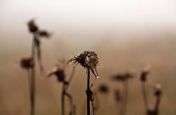 Many Withered Thistles In Fog, The Front Has Water Drops On Them