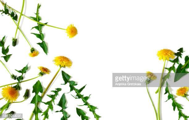 many yellow dandelions and dandelions leaves. - feuille de pissenlit photos et images de collection