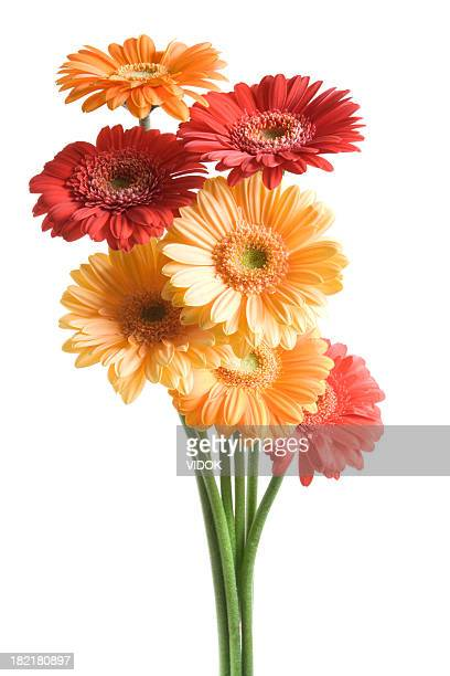 many-coloured fowers on white background. - gerbera daisy stock pictures, royalty-free photos & images
