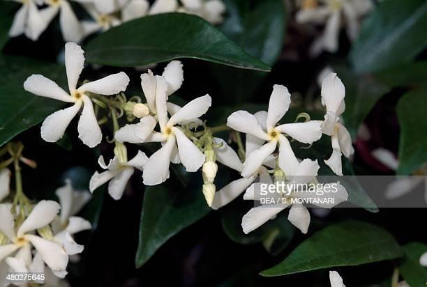 Manyflowered jasmine or Pink jasmine Oleaceae