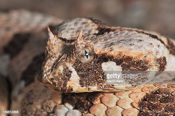 Many-horned adder (Bitis cornuta) Close up. Has a nervous disposition. When disturbed, it will hiss loudly and strike so energetically that most of its body is lifted off the ground in the process.Namib desert. Namib-Naukluft National Park, Namibia, Africa