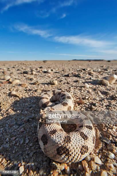Many-horned adder (Bitis cornuta) .Namib desert. Namib-Naukluft National Park, Namibia, Africa