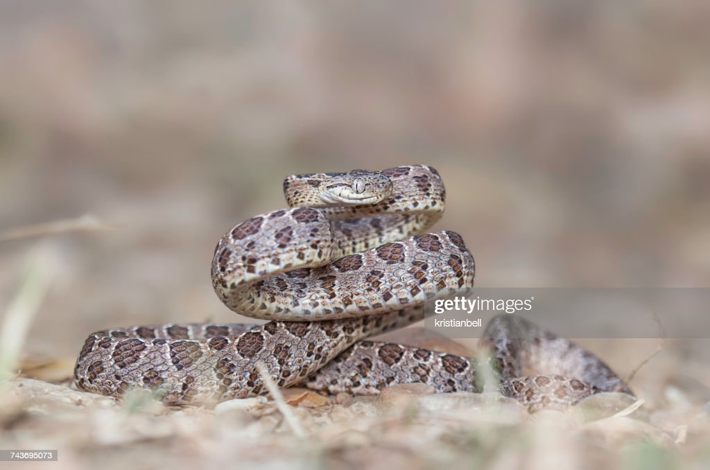 Many-Spotted Cat Snake (Boiga multomaculata), Kaeng Krachan, Thailand : Stock Photo