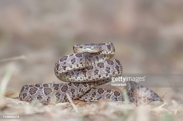 many-spotted cat snake (boiga multomaculata), kaeng krachan, thailand - cat snake stock photos and pictures