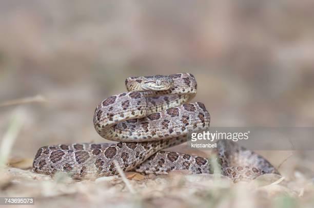 Many-Spotted Cat Snake (Boiga multomaculata), Kaeng Krachan, Thailand