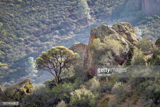 manzanita tree and talus, pinnacles national park - don smith stock pictures, royalty-free photos & images