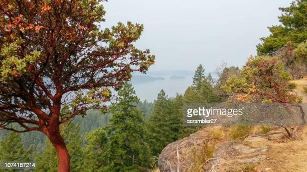 manzanita trees, galiano island, british columbia, canada - manzanita stock pictures, royalty-free photos & images